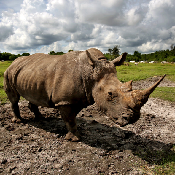 Paddy, a 17-year-old White Rhino, who was born on St. Patrick's Day, at World Rhino Day at Lion Country Safari in Loxahatchee, Fla., Sunday, Sept. 22, 2013. World Rhino Day celebrates all five species of rhino: Black, white, greater one-horned, Sumatran and Javan rhinos and to bring attention to the plight of this iconic species. (Gary Coronado/The Palm Beach Post)